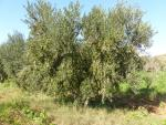 koroneiki olive oil,oil with cold extraction,p.d.o.,acidity,product of greece,cretan product,500ml olive oil,